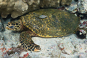 hawksbill sea turtle, Eretmochelys imbricata ( Critically Endangered Species ) resting under shallow coral reef, and being cleaned by Hawaiian whitespotted toby, Canthigaster jactator ( endemic species ), Kahaluu Beach Park, Kona, Hawaii Island ( the Big Island ), Hawaii, USA ( Central Pacific Ocean )