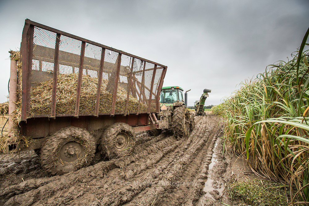 The Morris Farms Partnership harvests sugarcane in fields near Lafiton Road just north of Port Allen, La. The fourth-generation farming family will harvest 2,200 acres of sugarcane this year. The Morris Farms partnership also participates in sugarcane research by allowing part of their farm to be used as a secondary station.