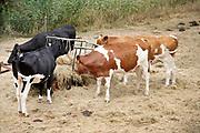 Nederland, Leuth, 31-7-2019 Koeien die buiten in de wei staan krijgen extra hooi, worden bijgevoerd, omdat het gras niet meer groeit en door de droogte vergeeld en dood is . Door de aanhoudende droogte en hitte, warme weer, hittegolf, hebben mens en dier het moeilijk . Foto: Flip Franssen