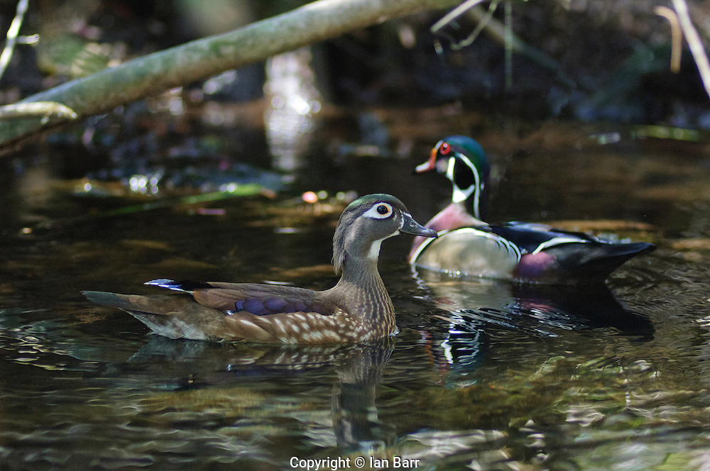 A male and female pair of Wood Ducks at  Wakulla Springs State Park, Florida.