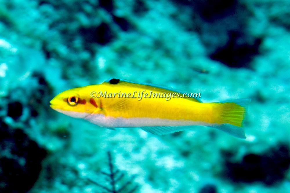 Bluehead inhabit reefs in Tropical West Atlantic; picture taken Grand Turk.