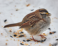 White-throated Sparrow (Zonotrichia albicollis). Image taken with a Leica SL2 camera and 90-280 mm lens.