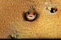 Tufted Blenny (Mccoskerichthys sandae)<br /><br />Canales de Afuera Islands<br />Coiba National Park<br />Panama<br /><br />Manta channel dive site