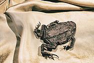 Mummified dead frog in sepia