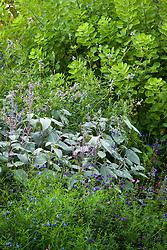 Salvia uliginosa with Plectranthus argentatus, Salvia reptans and S.greggi 'Purple Queen'