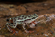 Rio Pescado Stubfoot toad (Atelopus balios)<br /> CAPTIVE<br /> South west ECUADOR. South America<br /> RANGE: ENDEMIC<br /> Not recorded in Ecuador since 1995<br /> CRITICALLY ENDANGERED<br /> Rediscovered 2015<br /> 200-460meters