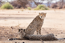 Cheetah relaxing at Okonjima Nature Reserve, Namibia, Africa