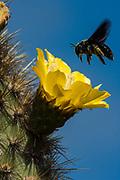 Carpenter Bee female (Xylocopa darwini) on Opuntia Cactus flower.<br /> Alcedo Volcano, Isabela Island<br /> Galapagos Islands<br /> ECUADOR.  South America