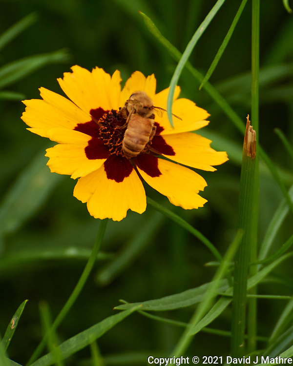 Honey Bee on a Plains Coreopsis flower. Image taken with a Nikon 1 V3 camera and 70-300 mm VR lens.