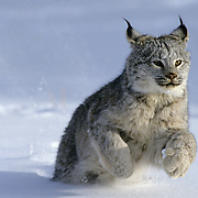Canada Lynx (Lynx canadensis) running during the winter Montana. Captive Animal