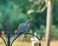 Mourning Dove. Image taken with a Nikon D850 camera and 200 mm f/2 VR telephoto lens