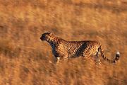 Motion-blur of a cheetah (Acinonyx jubatus) walking through the grass, Ndutu, Tanzania