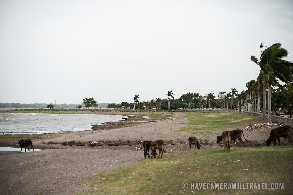 Cattle and horses graze along the beach next to Calle La Calzada in Granada, Nicaragua.