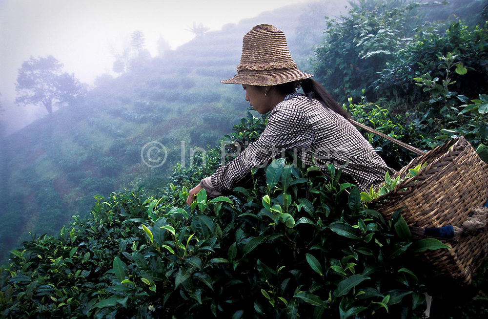 A Hua picks tea on the slopes outside her village of  Zha Lu, Yunnan province, China bordering Myanmar and Laos. She together with her husband and parents tend to 2.3 acres of tea plantations which earn them U$S 1300 / year. In the steamy subtropical climate they are able to harvest tea leaves all year round except for December and January. They grow the highly prized Pu'er variety of tea.