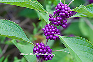 65821-00315 American Beautyberry (Callicarpa americana) North Carolina Botanical Garden, Chapel Hill, NC