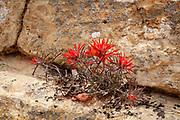 Indian Paintbrush in bloom on the Cedar Mesa in Utah