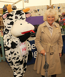 ***LNP HIGHLIGHTS OF THE WEEK 30/05/14***<br /> <br /> © Licensed to London News Pictures. 28/05/2014. Shepton Mallet, UK. Camilla Duchess of Wales Patron of the show attends. Displaying cattle at the Royal Bath and West show. Photo credit : Jason Bryant/LNP