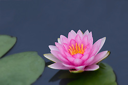 Water Lily, pink #2