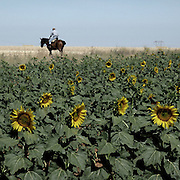 Sunflowers in Zamora province, Spain . The WAY OF SAINT JAMES or CAMINO DE SANTIAGO following the Silver Way, between Seville and Astorga, SPAIN. Tradition says that the body and head of St. James, after his execution circa. 44 AD, was taken by boat from Jerusalem to Santiago de Compostela. The Cathedral built to keep the remains has long been regarded as important as Rome and Jerusalem in terms of Christian religious significance, a site worthy to be a pilgrimage destination for over a thousand years. In addition to people undertaking a religious pilgrimage, there are many travellers and hikers who nowadays walk the route for non-religious reasons: travel, sport, or simply the challenge of weeks of walking in a foreign land. In Spain there are many different paths to reach Santiago. The three main ones are the French, the Silver and the Coastal or Northern Way. The pilgrimage was named one of UNESCO's World Heritage Sites in 1993. When there is a Holy Compostellan Year (whenever July 25 falls on a Sunday; the next will be 2010) the Galician government's Xacobeo tourism campaign is unleashed once more. Last Compostellan year was 2004 and the number of pilgrims increased to almost 200.000 people.