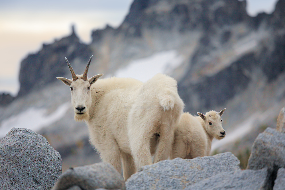 Mountain goat doe and kid in the Enchantment Lakes Wilderness in Washington state