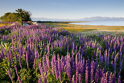 """""""Lupine at Lake Tahoe 2""""- These Lupine were photographed in the early morning at Lake Forest Beach Park, Lake Tahoe."""