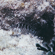 Rosy Blenny inhabit reef tops and adjacent areas of sand and rubble in Tropical West Atlantic; picture taken Anguilla, Grenadines.