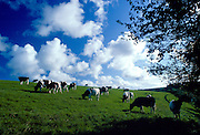 Freesian bullocks in a beef herd grazing in a field in Helford country, Cornwall, England