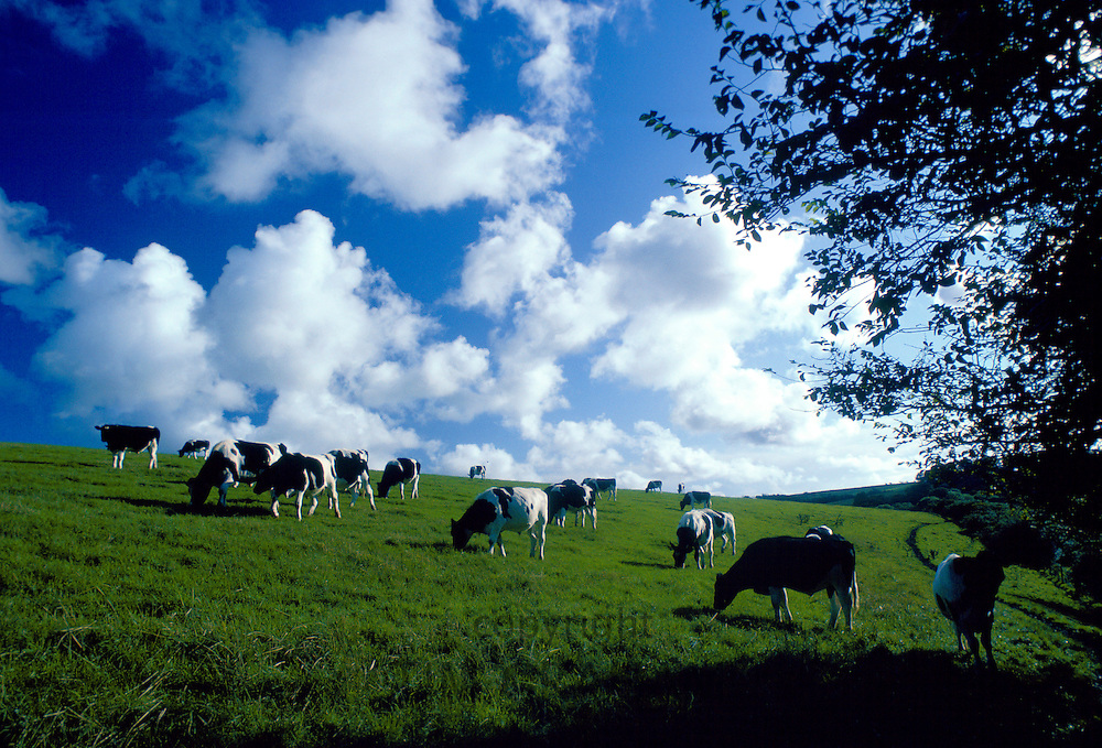 Freesian bullocks in a beef herd grazing in a field in Helford country, Cornwall, England