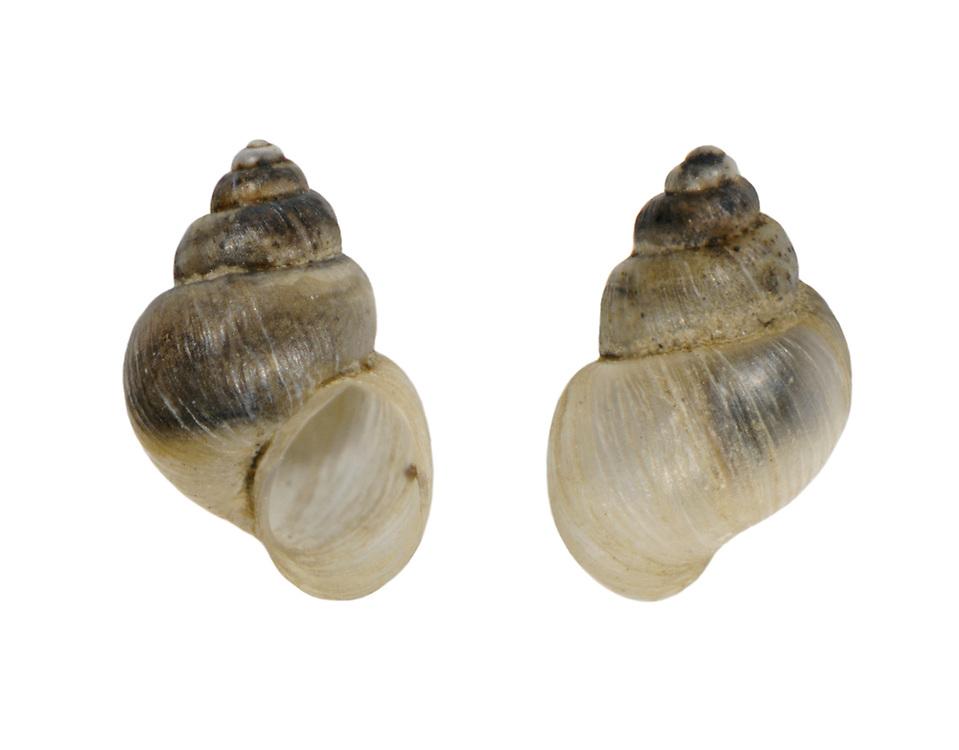 Mercuria similis<br /> Swollen spire shell