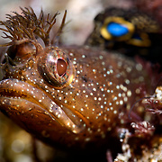 This male Neoclinus bryope blenny has an unusual dorsal fin with two prominent blue spots. Most individuals of this species have one spot. Photographed at a magnification of two times life-size.