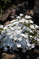 Alpine Smelowskia, wildflowers of Yellowstone