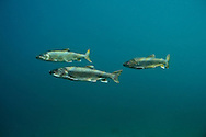Group of Lake Trout<br /> <br /> Christopher Morey/Engbretson Underwater Photo
