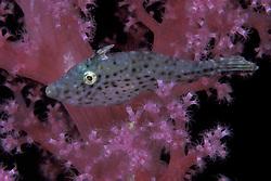 Juvenile filefish, Pseudomonacanthus macrurus, hiding among branches of a soft coral. Ko Tao, Thailand, Gulf Of Thailand, Pacific Ocean