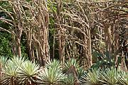 Spiny Forest Trees and Sisal Plants, Didierea trollii, Agave sisalana, Berenty National Park, Madagascar