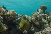 Green Moray (Gymnothorax funebris)<br /> Lighthouse Reef Atoll<br /> Belize<br /> Central America