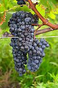 Bunches of ripe grapes. Merlot. Chateau Grand Corbin Despagne, Saint Emilion Bordeaux France