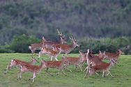 Taiwan or Formosan sika deer, Cervus nippon taiouanus, Endemic, Kenting National Park, Taiwan