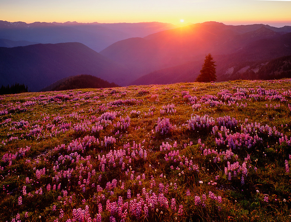 Michael's favorite high country location, lupine glow in low angle evening light, July, near Obstruction Point area, Elwha River watershed, Olympic National Park, 1996