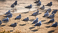 Gulls. Image taken with a Nikon D3x camera and 70-300 mm VR lens.