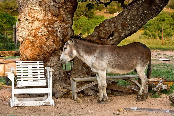 Stock photo of a donkey standing under a tree in the Texas Hill Country