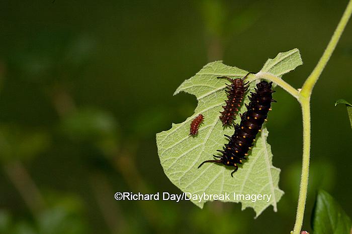 03004-007.01 Pipevine Swallowtail (Battus philenor) caterpillars on Dutchman's Pipevine (Aristolochia marophylla) Marion Co.  IL