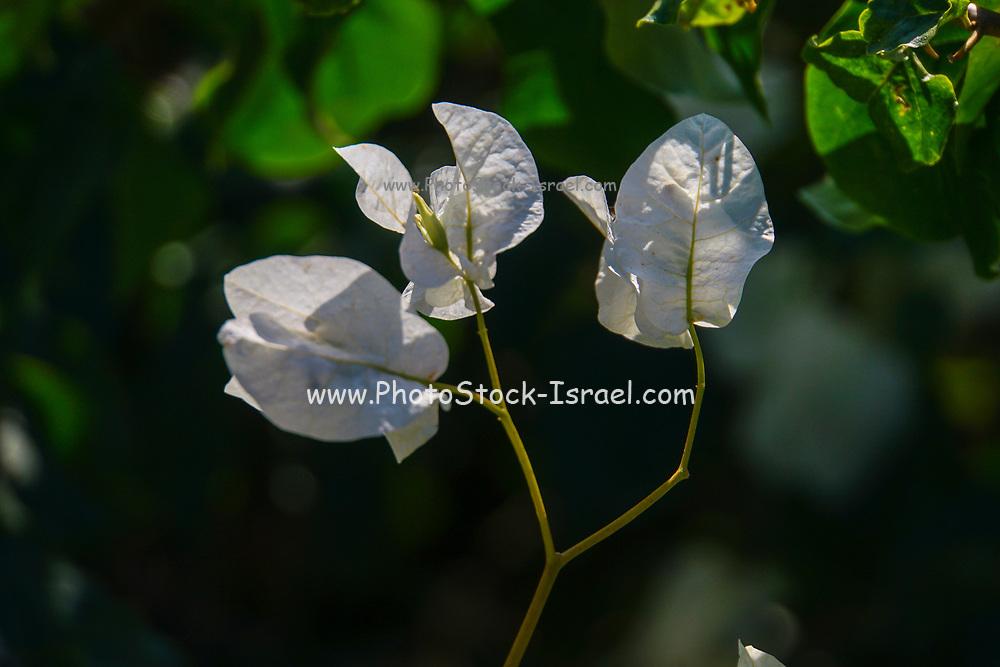 White flowers of a Bougainvillea bush close up