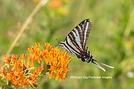 03006-00610 Zebra Swallowtail (Protographium marcellus) on Butterfly Milkweed (Asclepias tuberosa) Marion Co. IL