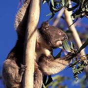 Koala, (Phascolarctos cinereus)  Eating eucalyptus. Australia.