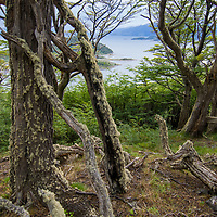 Southern beech (nothofagus) forest above Wulaia Bay on, Navarino Island, Tierra del Fuego, Chile. Murray Channel and Hoste Island background