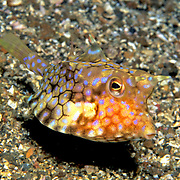 Thornback Cowfish inhabit sand, rubble and weed bottoms, often near reefs. Picture taken Fiji.