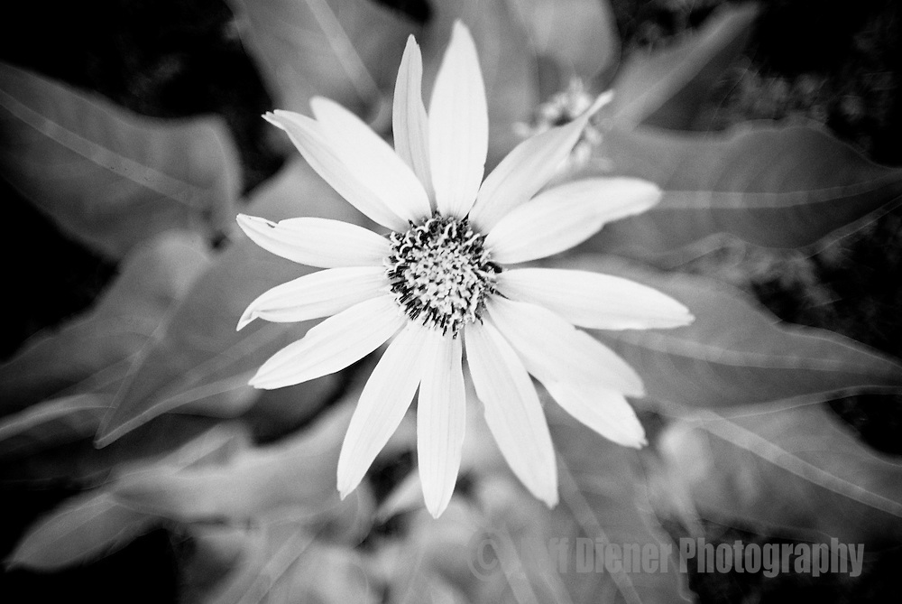 A wildflower blooms in Jackson Hole, Wyoming. (selective focus)
