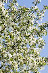 Malus 'Comtessa de Paris' syn. 'Comptessa de Paris' in blosssom against a blue sky. Crab apple