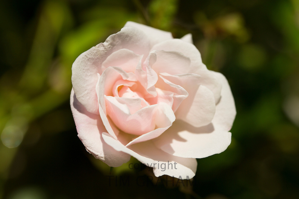 Traditional English rose in Minster Lovell in The Cotswolds, Oxfordshire, UK