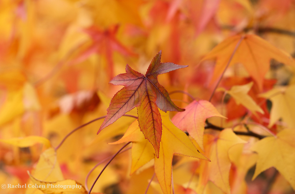 """""""Colors of Sweetgum Too"""" <br /> <br /> Amazing colorful Sweetgum leaves in fall!"""